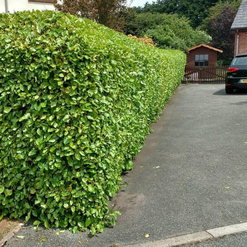 hedge1